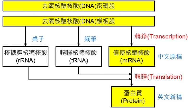 生物科技的「中心教條」 (圖/曲博科技教室)