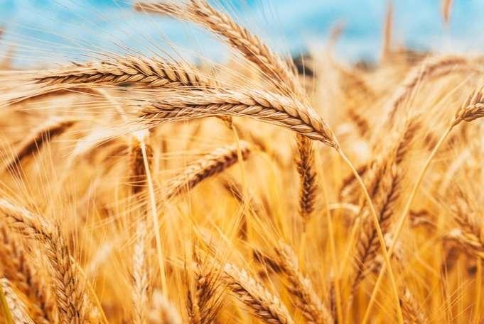 全球暖化下受影響的食物-小麥。(圖 / 取自食力foodNEXT)