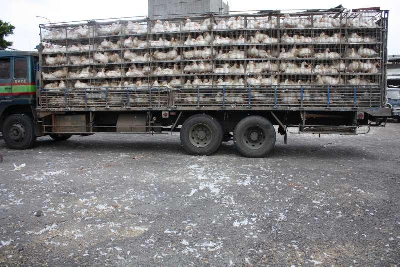每天有9萬隻來自中南部的家禽,被塞入窄小的雞籠運送到雙北家禽市場批發、屠宰。家禽飽受長途運送之苦。(台灣動物社會研究會提供)