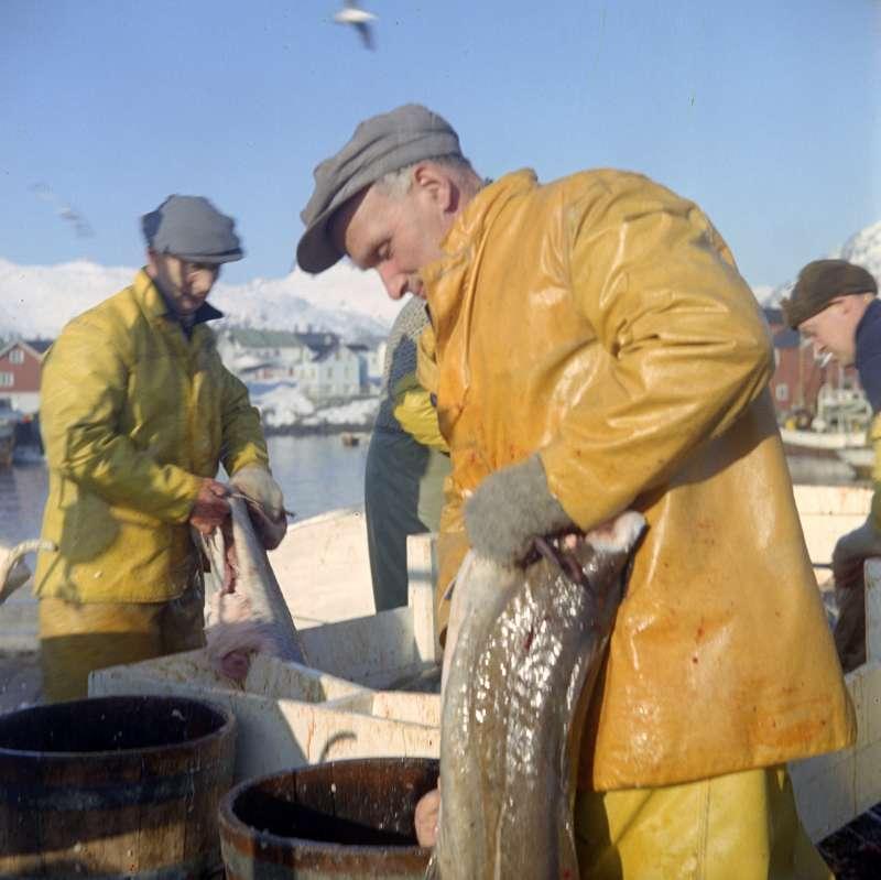 挪威漁民捕撈大西洋鱈魚(Wikipedia / Public Domain)
