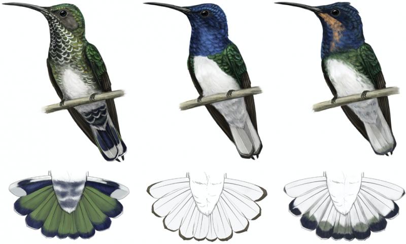 蜂鳥(取自《Current Biology》)