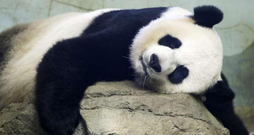 沒人看才想愛愛?香港貓熊13年來首次自然交配成功 是否有喜6月底揭曉