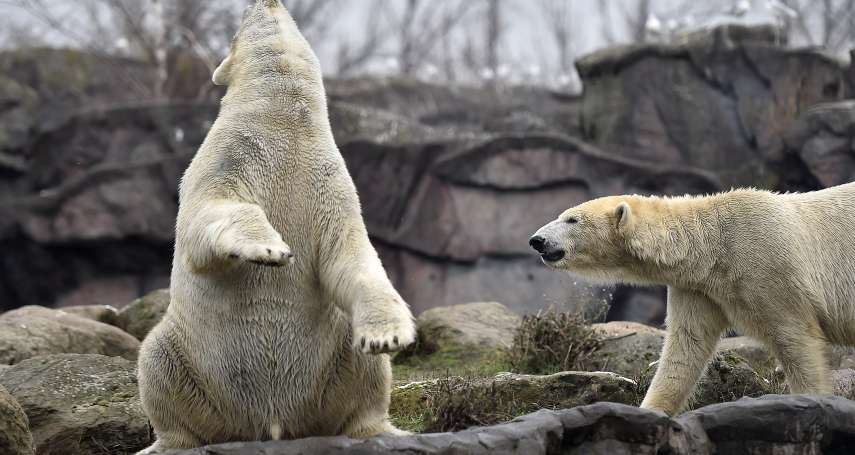 北極熊大舉入侵!俄羅斯新地島家長不敢送小孩上學 當局宣布進入緊急狀態