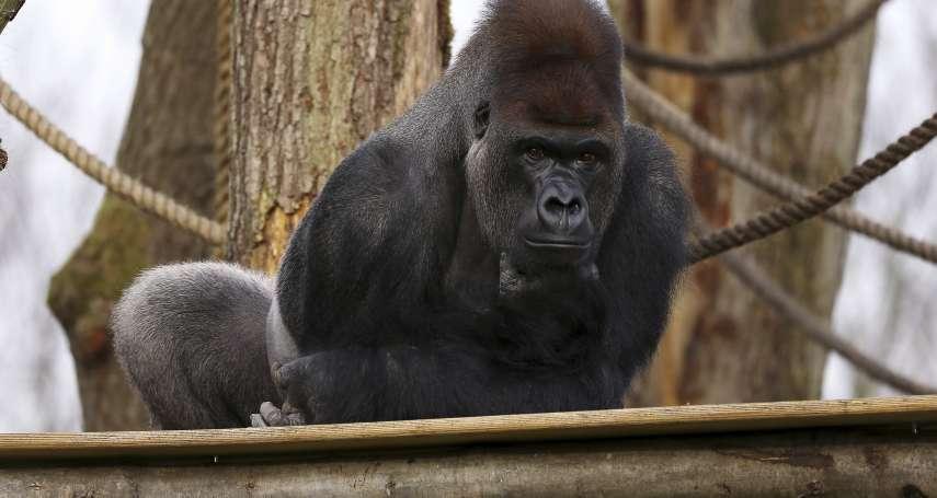 泰國動物煉獄》大猩猩被關超過30年 美國歌手雪兒:虐待動物來娛樂大眾是罪