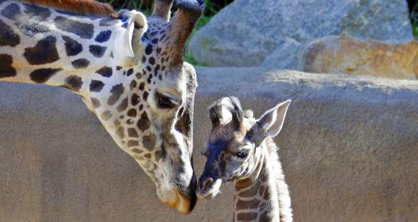 長頸鹿遭人類偷獵、販賣,恐從地球絕跡!動保專家致力拯救網紋長頸鹿