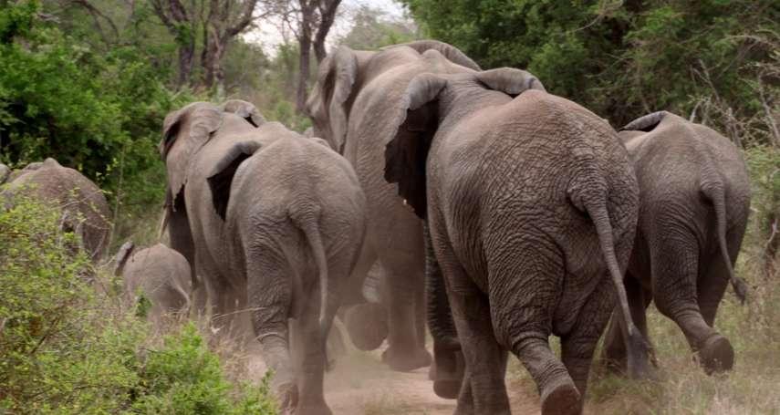 全球最大型動物遷徙任務!為了「這兩項」重要目的,他們用上鴉片,成功運送500頭大象
