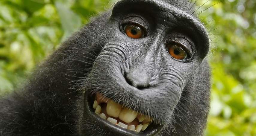 獼猴搶相機大玩自拍成網紅!照片版權爭上法院,攝影師:願和解,25%盈利捐猴子