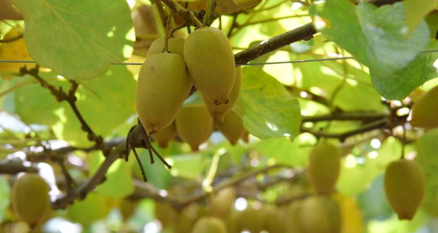 清境農友改良在地黃金奇異果 品質更勝進口