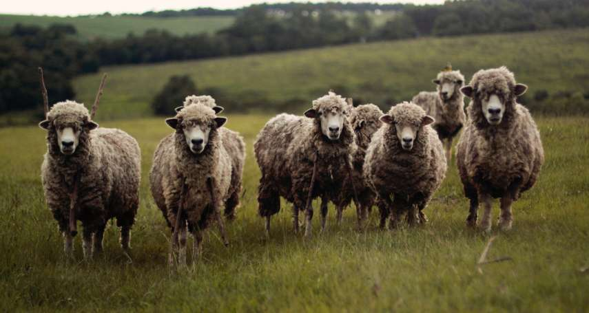 觀點投書:清境綿羊秀的存廢