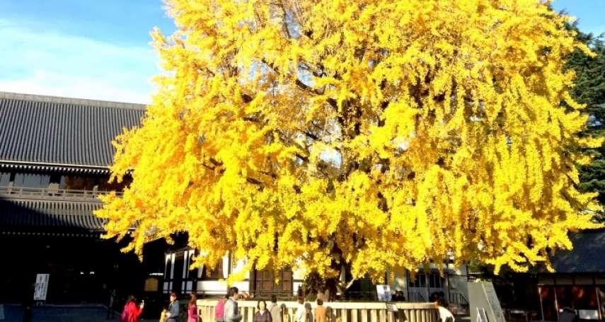 秋天除了楓紅,還能看看黃金雨!古都京都5處賞銀杏名所,遍地金黃閃耀