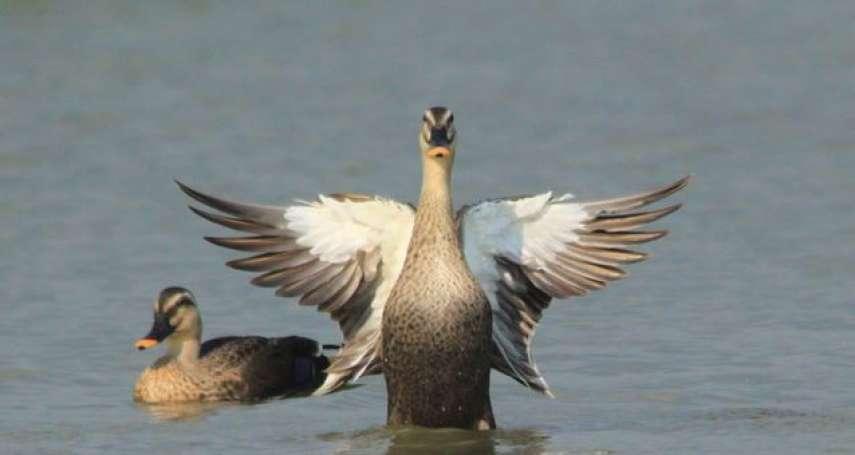 真的被放鳥了!中華鳥會拒簽「反台獨」聲明 慘遭國際鳥盟移除會籍