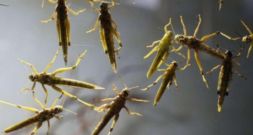 香港直擊「上千隻外來種蝗蟲」出沒 疑又是放生惹禍