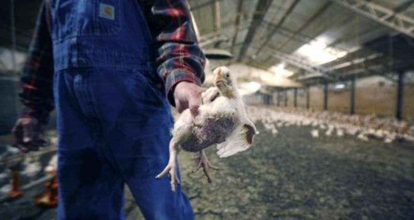 病死肉與可食肉混放,肉品沾糞用氯水洗洗照樣賣...英媒踢爆美國恐怖肉品加工廠