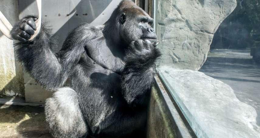 「牠已開始與母猩猩交往!」金剛猩猩「寶寶」遠赴荷蘭「求婚」!