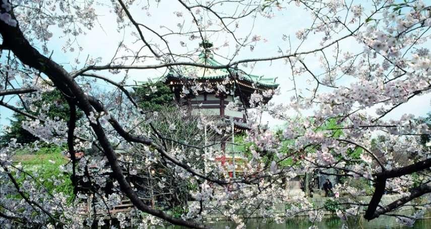 以後去日本不能賞櫻了?這「外來物種」大舉入侵東京,恐釀櫻花滅絕危機