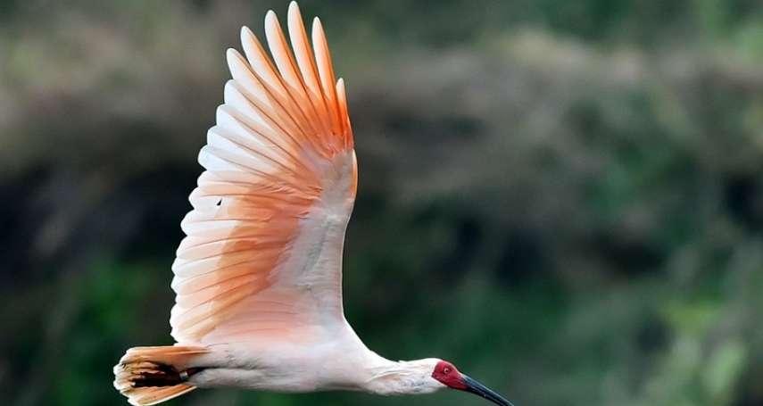 這鳥血紅的面龐,似曾相識:葛亮小說《朱䴉》選摘