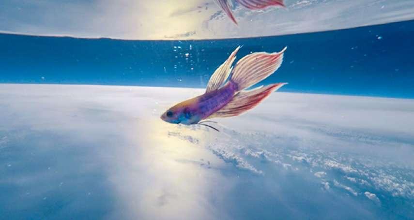 過程全紀錄》日本太空攝影狂用氣球「送鬥魚上太空」,1個半小時順利返航、魚球均安!