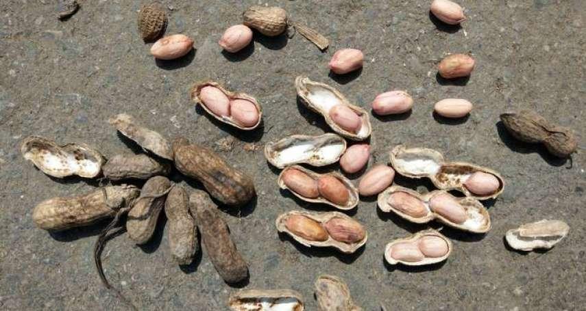 補貼花生農每公頃萬元 雲縣府:護農行動不容扭曲