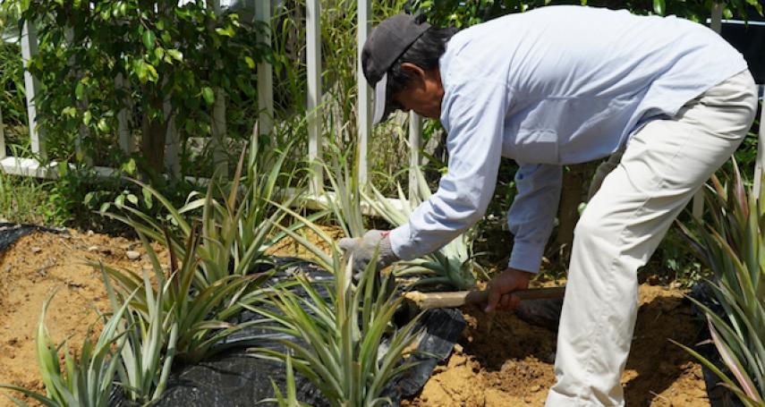 科技人返鄉種有機鳳梨 栽植14不同品種