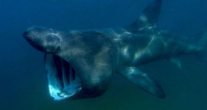 世上「最神秘的鯊魚」才不是巨齒鯊!體型超巨大、卻到冬天就消失,「牠」讓科學家超頭痛⋯