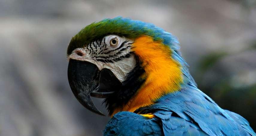 鳥類也會害羞嗎?鸚鵡說話不稀奇 但這5隻金剛鸚鵡竟然會臉紅!