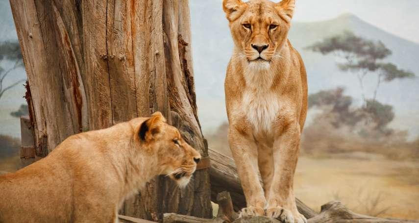 【謝幸吟專欄】看著肯亞草原的獅子、印度豹、羚羊家族,她感嘆:動物才是大地的主人