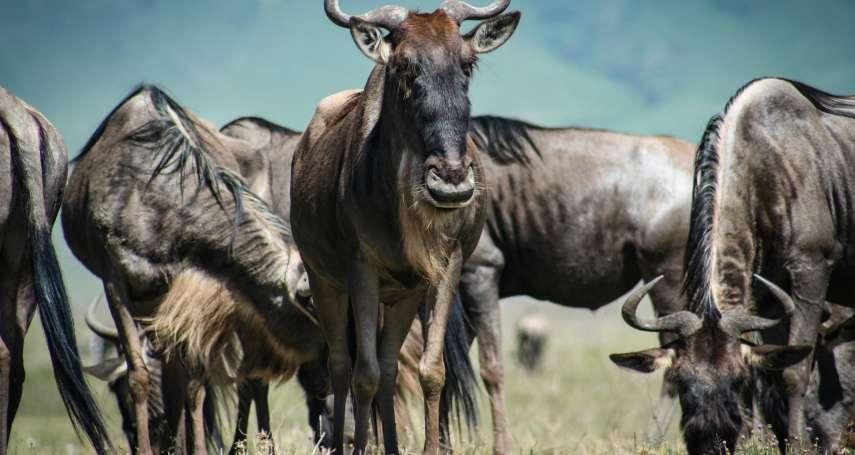 【謝幸吟專欄】目睹動物大遷徒之壯觀-一個最團結也最堅毅的故事
