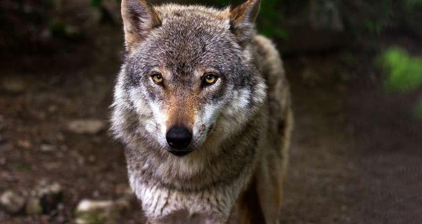領頭狼原則領導-你不必時時都當老大:《狼的智慧》選摘(2)