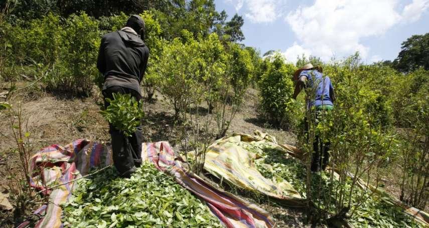 古柯鹼暴利「癮頭」難戒!哥倫比亞推動改種普通作物不見成效,聯合國:2017年毒品產量再創新高