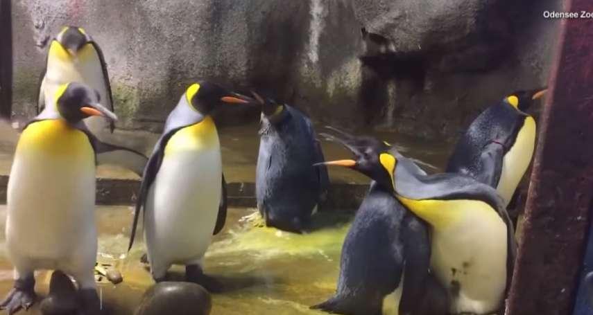 看不慣隔壁父母冷落小孩 男男企鵝伴侶偷抱鄰家寶寶