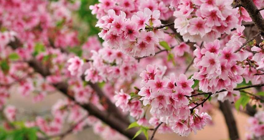 時序才入秋,櫻花卻開了?日本紛傳櫻花開花異象,民眾擔心來年將無櫻可賞
