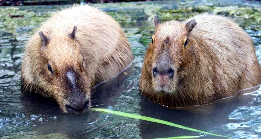 台北動物園也要有水豚啦!吃相超呆萌,還有「這可愛舉動」保育員都忍不住直呼:太療育!