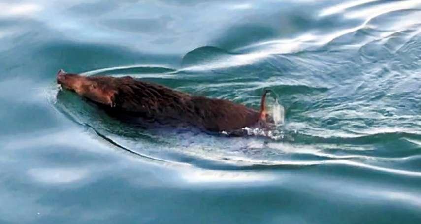 年輕山豬勇渡瀨戶內海 短小尾巴如螺旋槳般轉動