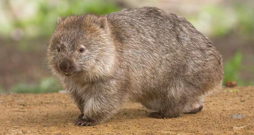 澳洲超萌袋熊成野火「英雄」!牠的地洞收容許多小動物,是遠離火場的安全避難所