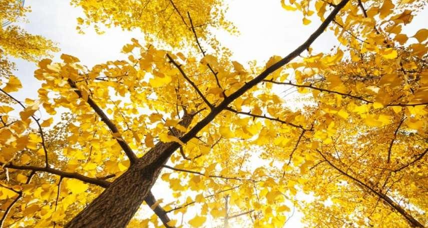 台灣竟也有這麼美的秋色!旅遊達人私藏「金黃秘境」大公開,楓、銀杏、落羽松層疊超浪漫