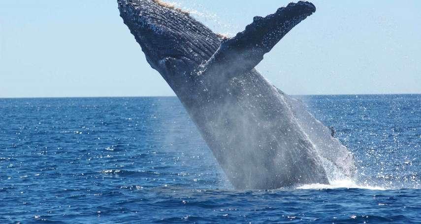 全球暖化的救星竟是「它」?科學家將遠航南極研究鯨魚便便的秘密