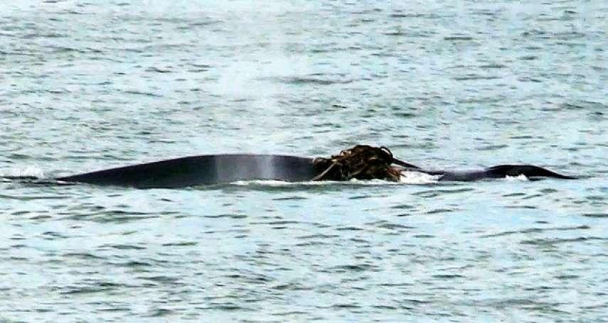 大型鯨魚疑似迷路? 罕見現身瀨戶內海