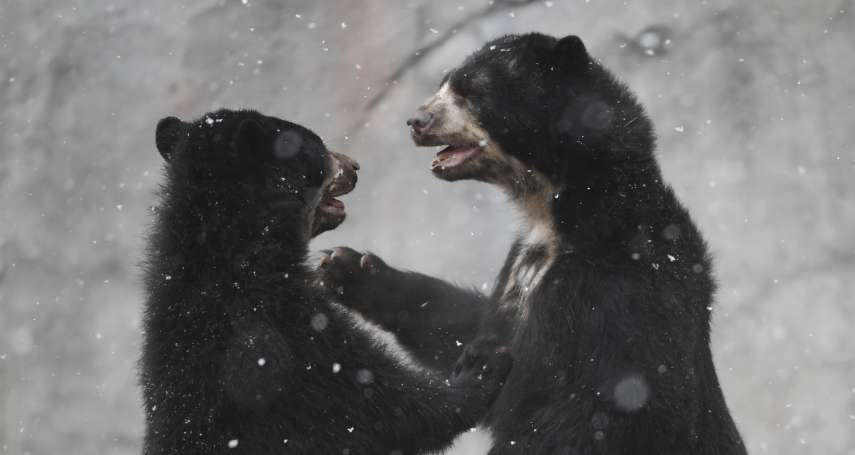 動物也要「參加」東京奧運》黑熊出沒棒壘球場 輕艇、划船賽場有大量牡蠣