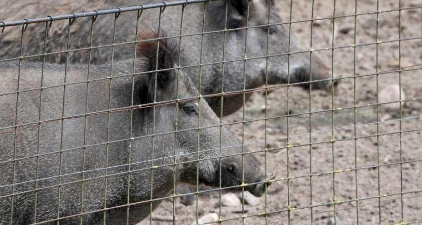 丹麥也要在德國邊境蓋牆!不過他們想擋的是:非洲豬瘟