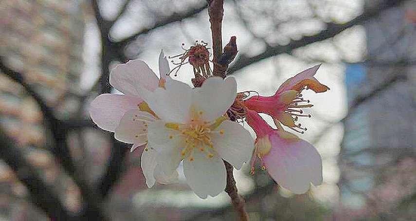 春天腳步近了!日本南境櫻花開始綻放,東京也有零星櫻花探頭