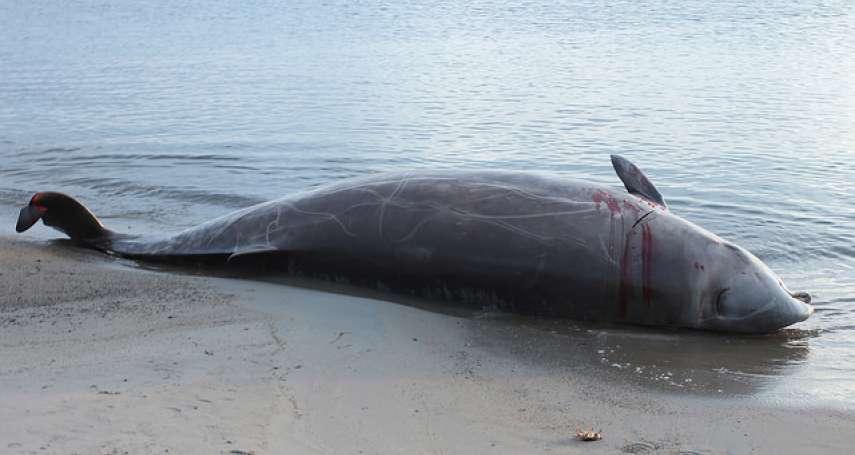 為何常有鯨魚莫名集體擱淺、痛苦慘死?科學家發現痛心真相!竟是被「這」嚇到忘了怎潛水