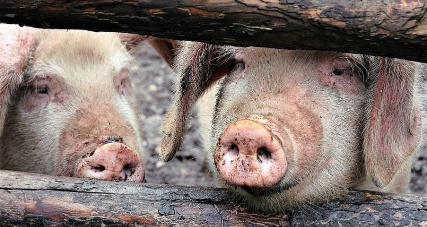 不是說早就全面控管疫情?中國豬肉加工業者,5月1日才需檢測非洲豬瘟病毒