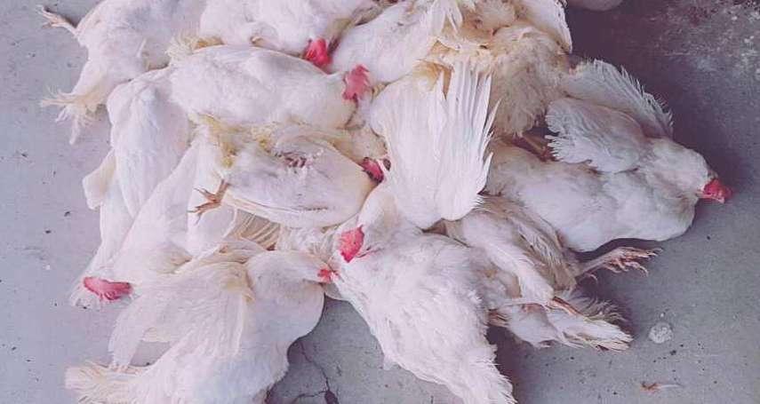 上下游》蛋荒真相!國內首次種雞場疫苗出問題,百萬雞隻暴斃,防檢局全無掌握