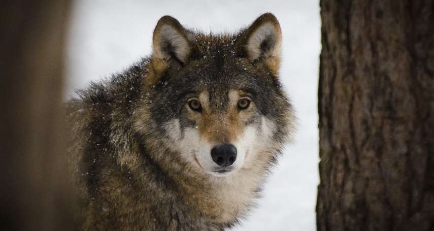 狼來了!美國皇家島狼群數量銳減、麋鹿爆增 科學家「搬救兵」,空降4隻加拿大野狼