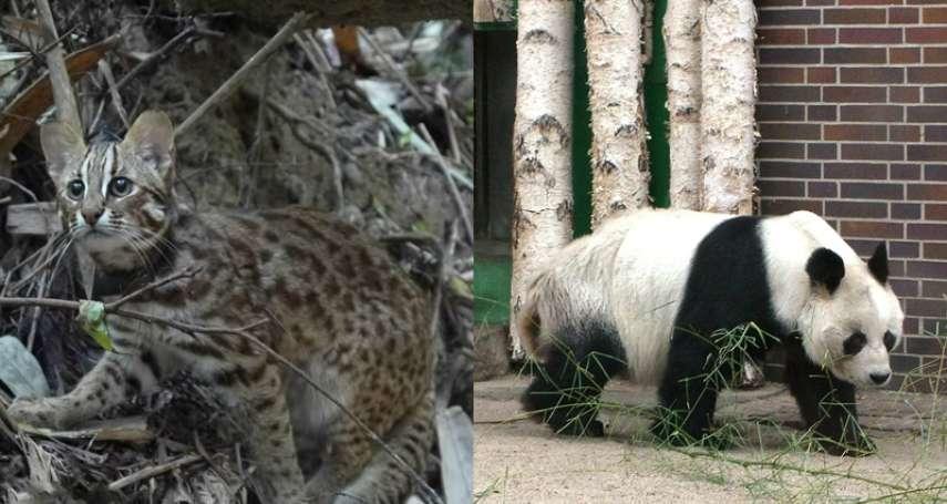 誰說石虎很兇猛,貓熊很可愛?生物學家:牠能咬碎腿骨、吃掉山羊!「黑白斑是兇殘信號」