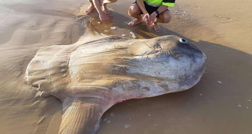 重量堪比一輛小轎車,怪魚你是誰?南澳洲驚見巨型「翻車魚」