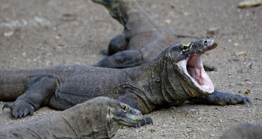 遊客要注意》世上最大巨蜥「科莫多龍」遭盜獵轉賣 印尼政府下狠心 宣布2020年暫時關閉科莫多島