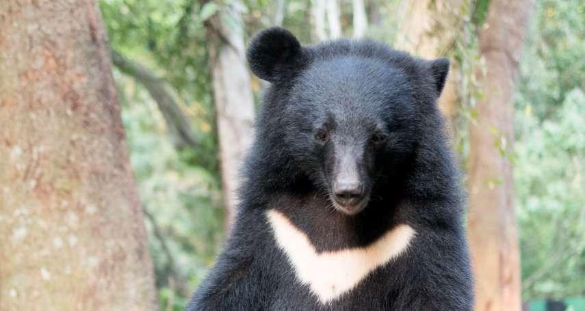 台灣黑熊遭山老鼠下肚!她坦言「不意外」揭內幕:半數獲救黑熊慘被斷掌