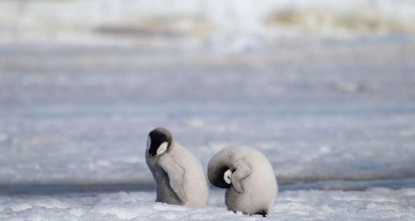 皇帝企鵝面臨繁殖危機!》南極冰層大崩塌 數千隻企鵝寶寶一夕間溺斃 全球次大棲息地3年來毫無「生機」