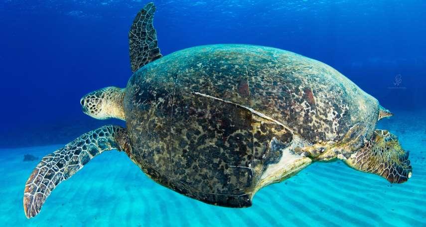 被刺殺、被船撞、還被剪斷四肢丟回海裡…除了海洋垃圾,海龜在台灣還會遇到什麼難題?